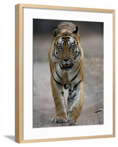 Dominant Male Indian Tiger, Bandhavgarh National Park, Madhya Pradesh State, India-Milse Thorsten-Framed Art Print