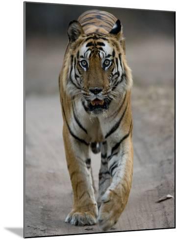 Dominant Male Indian Tiger, Bandhavgarh National Park, Madhya Pradesh State, India-Milse Thorsten-Mounted Photographic Print