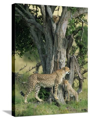 Cheetah Cubs Eight Months Old, Playing in Tree, Masai Mara National Reserve, Kenya, East Africa-Murray Louise-Stretched Canvas Print