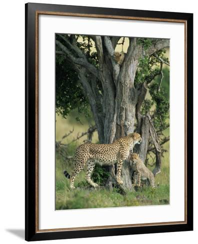 Cheetah Cubs Eight Months Old, Playing in Tree, Masai Mara National Reserve, Kenya, East Africa-Murray Louise-Framed Art Print