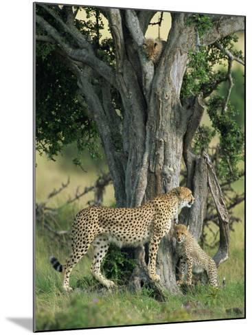 Cheetah Cubs Eight Months Old, Playing in Tree, Masai Mara National Reserve, Kenya, East Africa-Murray Louise-Mounted Photographic Print