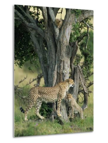 Cheetah Cubs Eight Months Old, Playing in Tree, Masai Mara National Reserve, Kenya, East Africa-Murray Louise-Metal Print