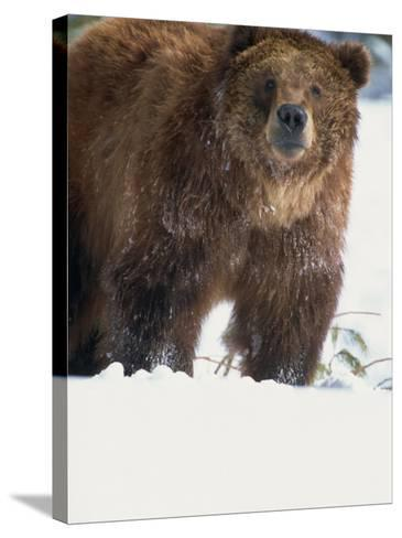 Brown Bear in Snow, North America-Murray Louise-Stretched Canvas Print