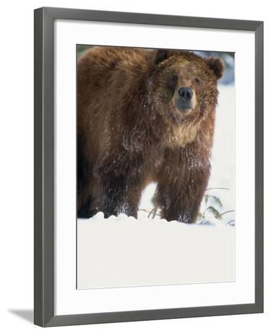 Brown Bear in Snow, North America-Murray Louise-Framed Art Print