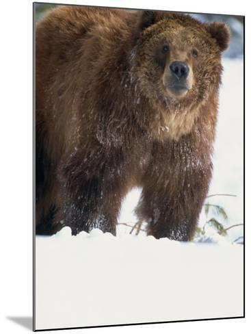 Brown Bear in Snow, North America-Murray Louise-Mounted Photographic Print