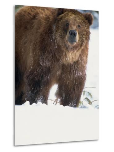 Brown Bear in Snow, North America-Murray Louise-Metal Print