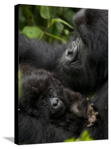 Mountain Gorilla with Her Young Baby, Rwanda, Africa-Milse Thorsten-Stretched Canvas Print