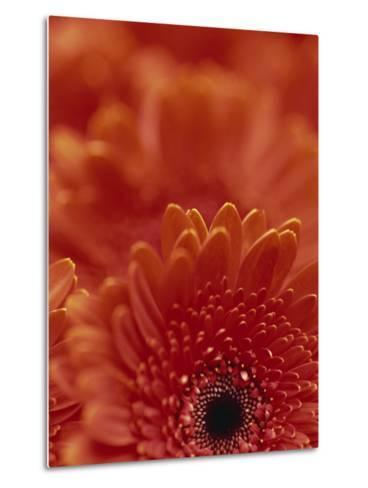 Detail of a Red Gerbera, Stacked-Murray Louise-Metal Print