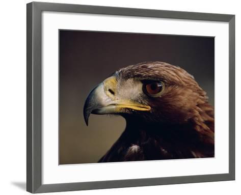 Portrait of a Golden Eagle, Highlands, Scotland, United Kingdom, Europe-Rainford Roy-Framed Art Print