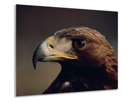 Portrait of a Golden Eagle, Highlands, Scotland, United Kingdom, Europe-Rainford Roy-Metal Print