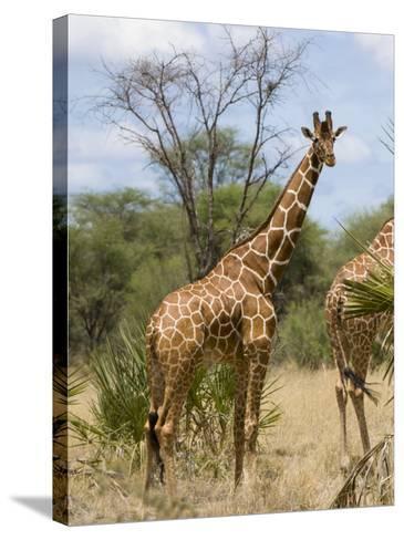 Reticulated Giraffe, Meru National Park, Kenya, East Africa, Africa-Pitamitz Sergio-Stretched Canvas Print