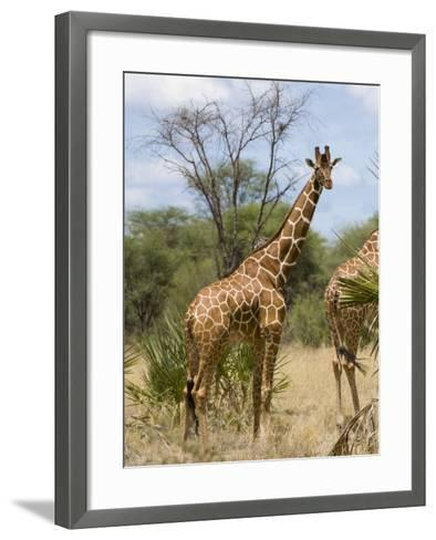 Reticulated Giraffe, Meru National Park, Kenya, East Africa, Africa-Pitamitz Sergio-Framed Art Print