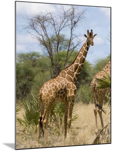 Reticulated Giraffe, Meru National Park, Kenya, East Africa, Africa-Pitamitz Sergio-Mounted Photographic Print
