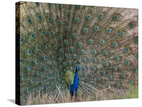 Peacock, Bandhavgarh Tiger Reserve, Madhya Pradesh State, India-Milse Thorsten-Stretched Canvas Print