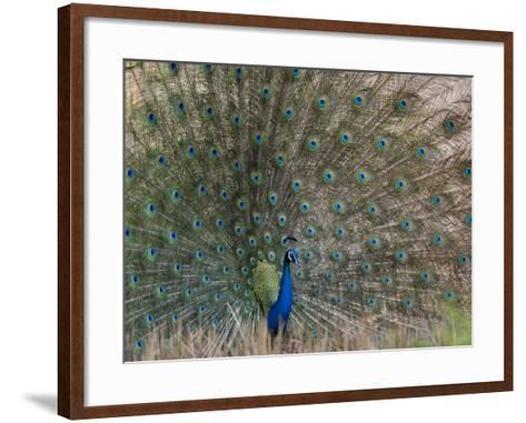 Peacock, Bandhavgarh Tiger Reserve, Madhya Pradesh State, India-Milse Thorsten-Framed Art Print