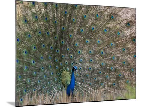 Peacock, Bandhavgarh Tiger Reserve, Madhya Pradesh State, India-Milse Thorsten-Mounted Photographic Print