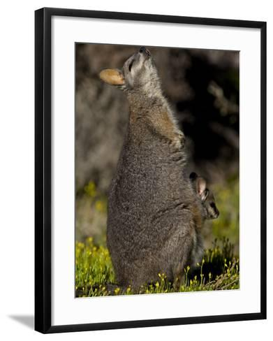 Tammar Wallaby, Kangaroo Island, South Australia, Australia, Pacific-Milse Thorsten-Framed Art Print