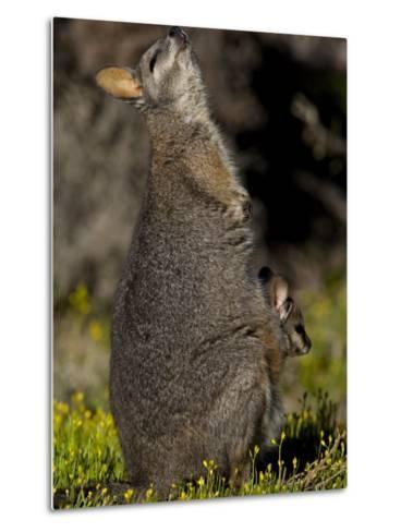 Tammar Wallaby, Kangaroo Island, South Australia, Australia, Pacific-Milse Thorsten-Metal Print