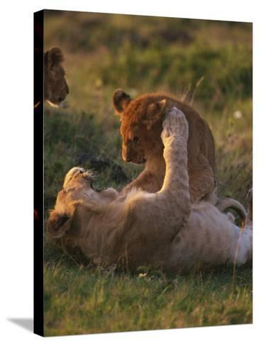Lion Cubs Playing, Masai Mara, Kenya, East Africa, Africa-Murray Louise-Stretched Canvas Print