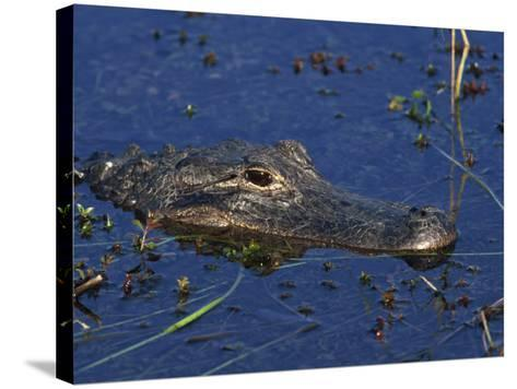 American Alligator, South Florida, United States of America, North America-Rainford Roy-Stretched Canvas Print