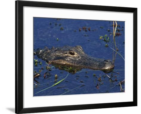 American Alligator, South Florida, United States of America, North America-Rainford Roy-Framed Art Print