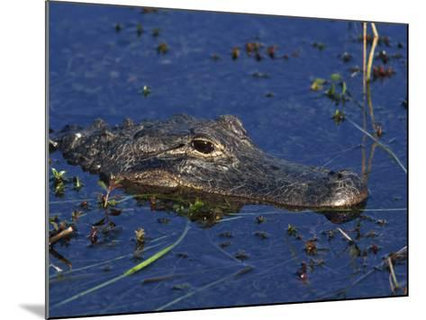 American Alligator, South Florida, United States of America, North America-Rainford Roy-Mounted Photographic Print