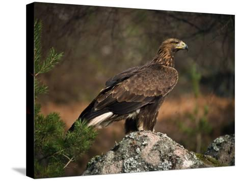 Portrait of a Golden Eagle, Highlands, Scotland, United Kingdom, Europe-Rainford Roy-Stretched Canvas Print