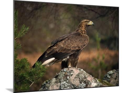 Portrait of a Golden Eagle, Highlands, Scotland, United Kingdom, Europe-Rainford Roy-Mounted Photographic Print