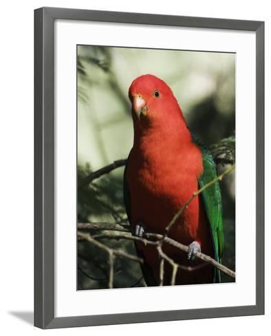 Australian King Parrot, Dandenong Ranges, Victoria, Australia, Pacific-Schlenker Jochen-Framed Art Print