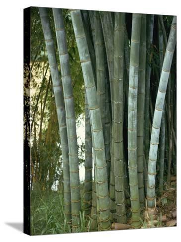 Bamboo Stems in the Peradeniya Botanical Gardens in Kandy, Sri Lanka-Sassoon Sybil-Stretched Canvas Print