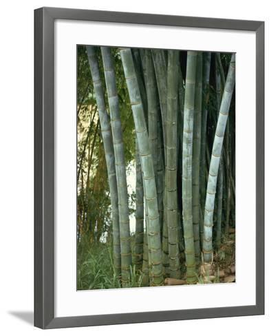 Bamboo Stems in the Peradeniya Botanical Gardens in Kandy, Sri Lanka-Sassoon Sybil-Framed Art Print