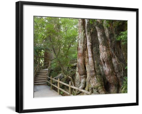 Kigensugi Giant Sugi Cedar Tree, Estimated to Be 3000 Years Old, Yaku-Shima, Kyushu, Japan-Schlenker Jochen-Framed Art Print