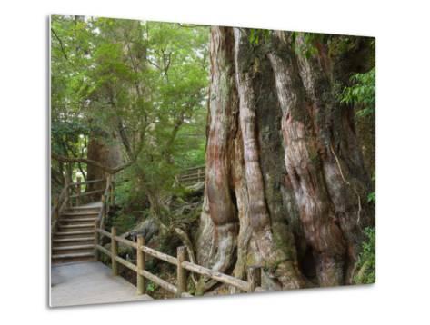 Kigensugi Giant Sugi Cedar Tree, Estimated to Be 3000 Years Old, Yaku-Shima, Kyushu, Japan-Schlenker Jochen-Metal Print