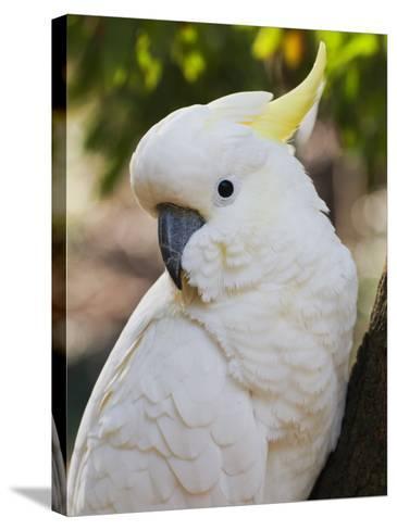 Sulphur-Crested Cockatoo, Dandenong Ranges, Victoria, Australia, Pacific-Schlenker Jochen-Stretched Canvas Print