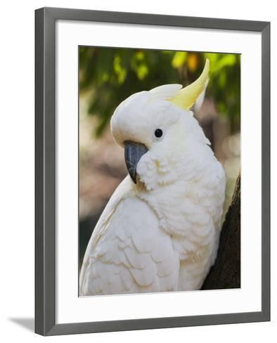 Sulphur-Crested Cockatoo, Dandenong Ranges, Victoria, Australia, Pacific-Schlenker Jochen-Framed Art Print