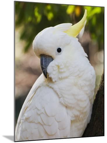 Sulphur-Crested Cockatoo, Dandenong Ranges, Victoria, Australia, Pacific-Schlenker Jochen-Mounted Photographic Print