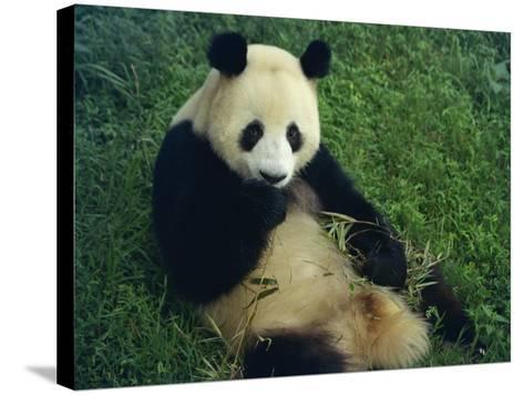 Giant Panda, Sichuan Province, China-Jane Sweeney-Stretched Canvas Print