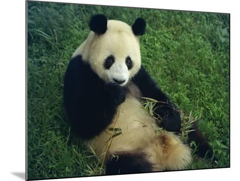 Giant Panda, Sichuan Province, China-Jane Sweeney-Mounted Photographic Print
