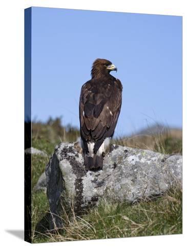 Golden Eagle, on Moorland, Captive, United Kingdom, Europe-Toon Ann & Steve-Stretched Canvas Print