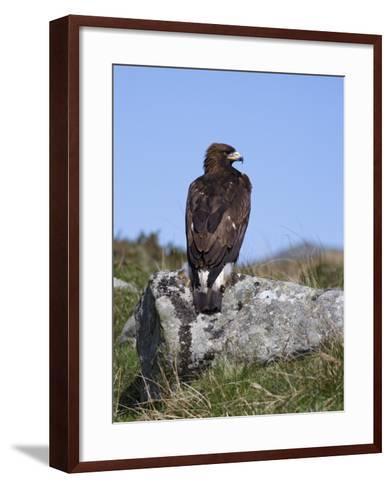 Golden Eagle, on Moorland, Captive, United Kingdom, Europe-Toon Ann & Steve-Framed Art Print