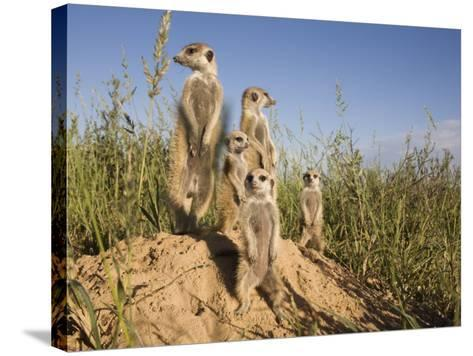 Group of Meerkats, Kalahari Meerkat Project, Van Zylsrus, Northern Cape, South Africa-Toon Ann & Steve-Stretched Canvas Print