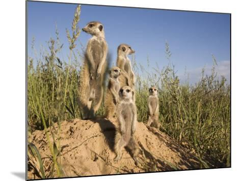 Group of Meerkats, Kalahari Meerkat Project, Van Zylsrus, Northern Cape, South Africa-Toon Ann & Steve-Mounted Photographic Print