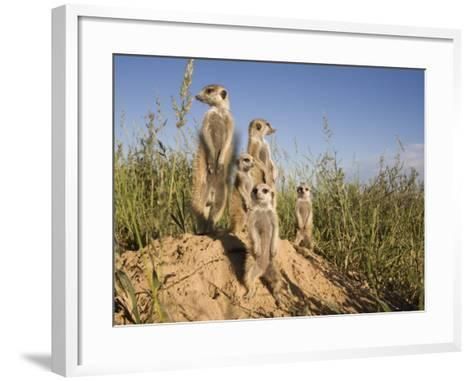 Group of Meerkats, Kalahari Meerkat Project, Van Zylsrus, Northern Cape, South Africa-Toon Ann & Steve-Framed Art Print
