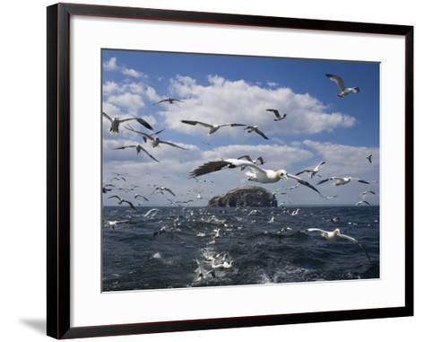 Gannets in Flight, Following Fishing Boat Off Bass Rock, Firth of Forth, Scotland-Toon Ann & Steve-Framed Art Print