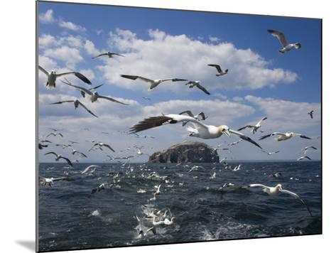 Gannets in Flight, Following Fishing Boat Off Bass Rock, Firth of Forth, Scotland-Toon Ann & Steve-Mounted Photographic Print
