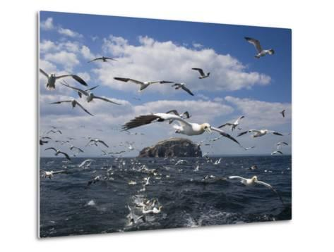 Gannets in Flight, Following Fishing Boat Off Bass Rock, Firth of Forth, Scotland-Toon Ann & Steve-Metal Print