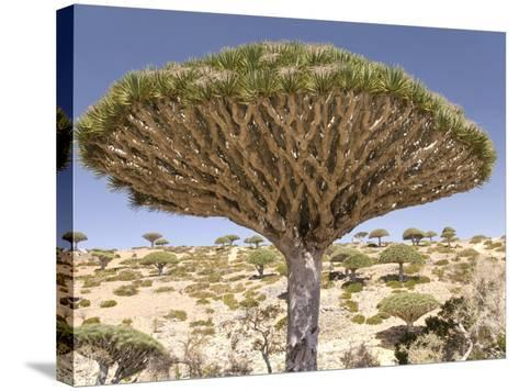 Dragon's Blood Tree, Endemic to Island, Diksam Plateau, Central Socotra Island, Yemen-Waltham Tony-Stretched Canvas Print