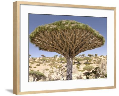 Dragon's Blood Tree, Endemic to Island, Diksam Plateau, Central Socotra Island, Yemen-Waltham Tony-Framed Art Print