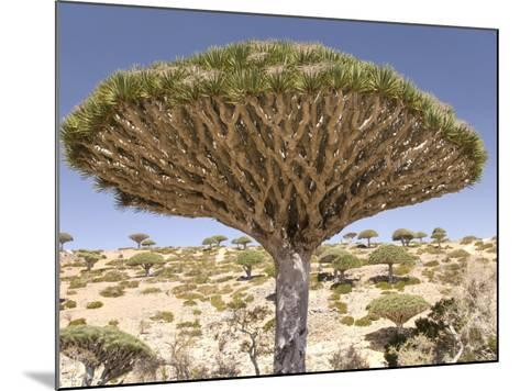 Dragon's Blood Tree, Endemic to Island, Diksam Plateau, Central Socotra Island, Yemen-Waltham Tony-Mounted Photographic Print