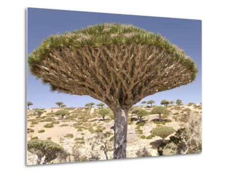 Dragon's Blood Tree, Endemic to Island, Diksam Plateau, Central Socotra Island, Yemen-Waltham Tony-Metal Print